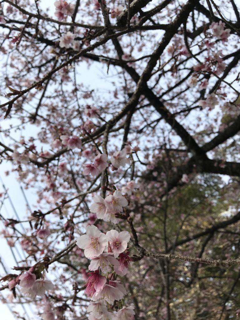 大知波桜🌸